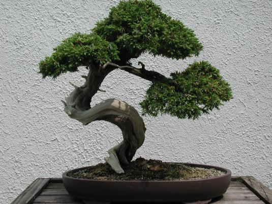 what is bonsai bonsai tree